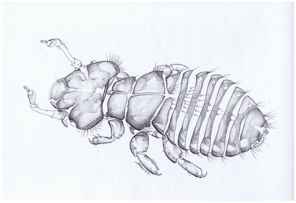 Docophoroides brevis - Mathieu Antonio Hélio RAPP