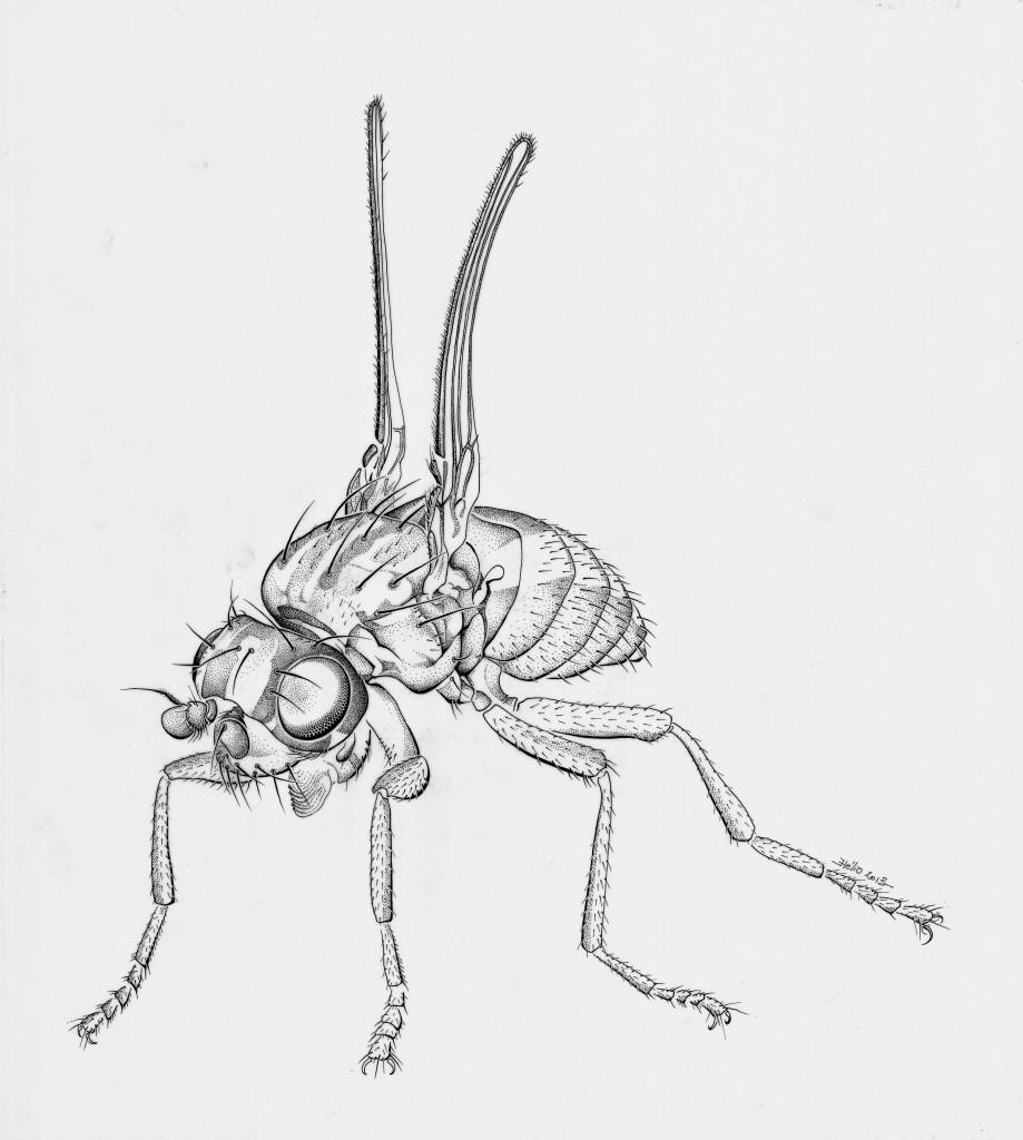 Amalopteryx maritima - Mathieu Antonio Hélio RAPP