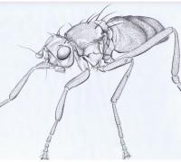 anatalanta crozetensis