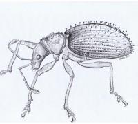 ectemnorhinus vanhoeffenianus